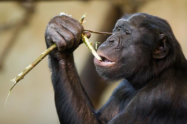 bonobo.jpg